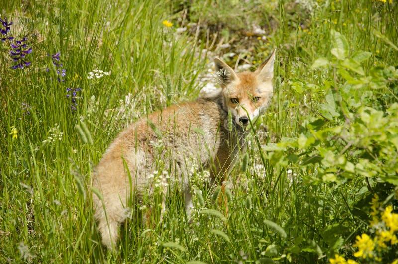 Little red fox stock photos