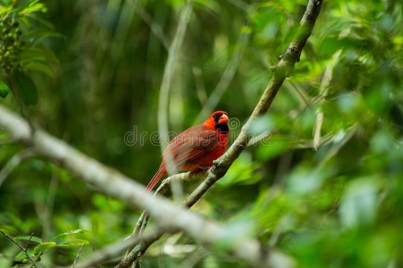 Little red friend. Taken at Homosassa Springs State Park in Florida. Cardinals are active songbirds and sing a variety of different melodies year-round. This one stock photography