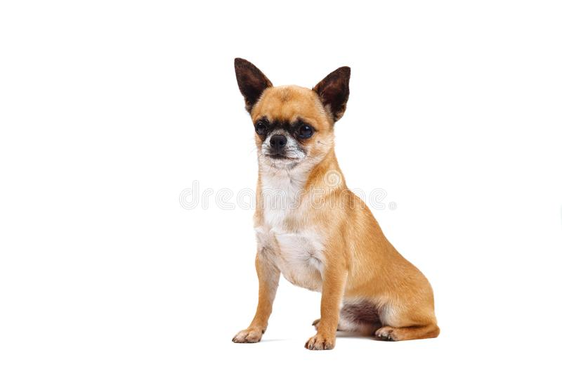 Little red-haired chihuahua breed dog on white background. Small dog royalty free stock photo