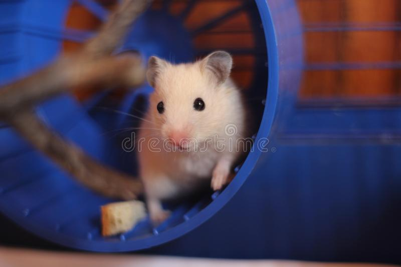 The little red hamster stock photos