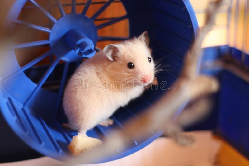 The little red hamster stock photography