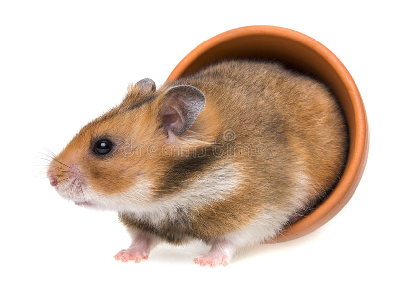 Little red hamster royalty free stock photo