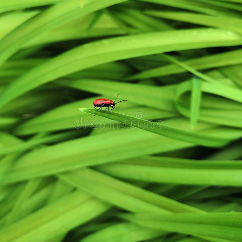 Little red insect on the grass. Green royalty free stock image