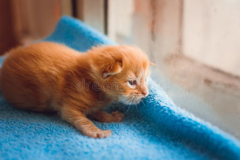 A little red kitten. Close-up royalty free stock images