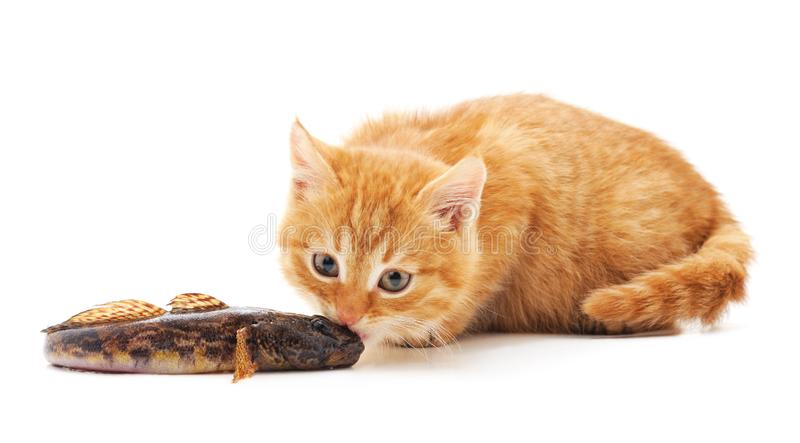 Little red kitten with fish royalty free stock photos