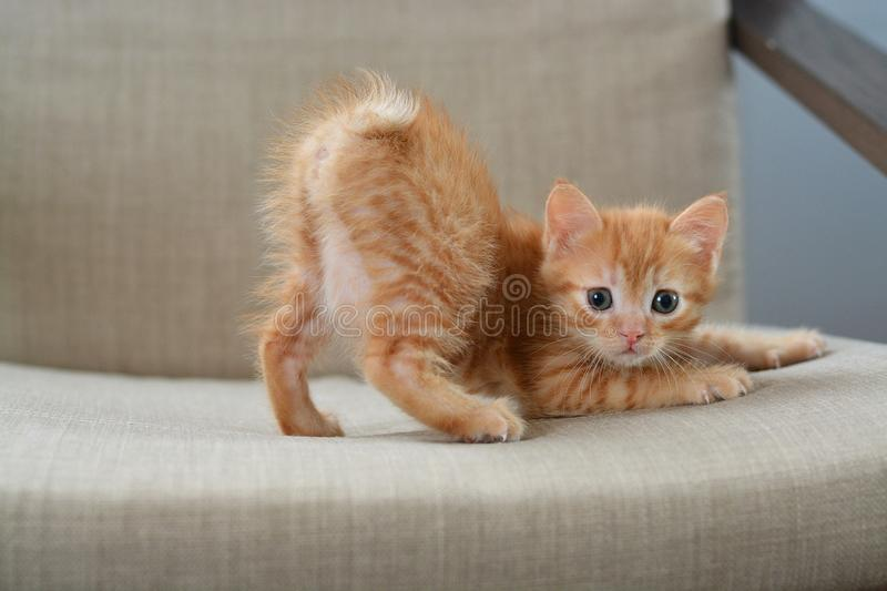 The little red kitten plays on the armchair, arches the back of the arc looking directly at us. Beige and orange color royalty free stock image