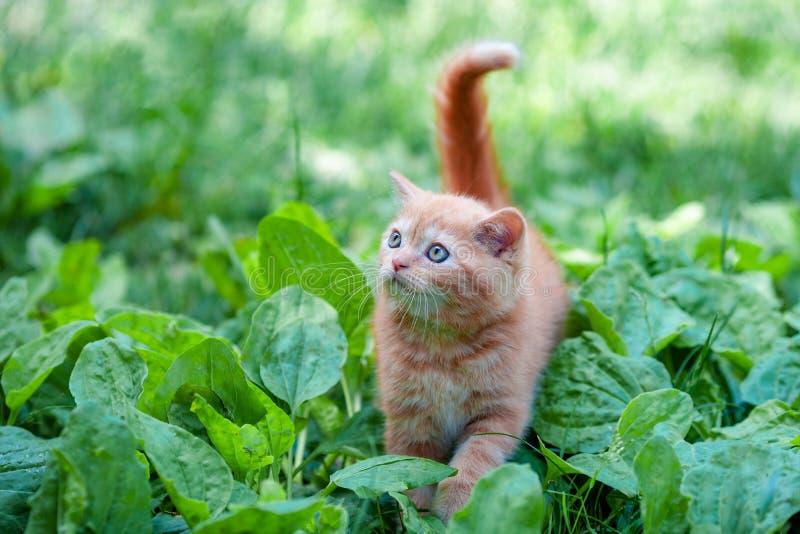 Red kitten walking on the plantain stock image