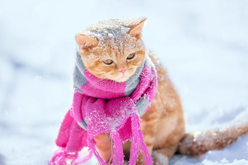 Little red kitten wearing knitted scarf stock photos