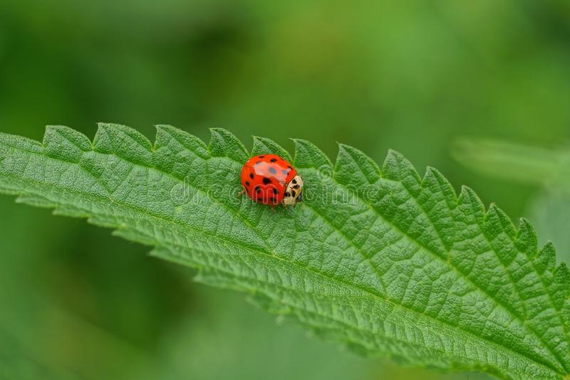 little red ladybug sits on a green leaf of nettle stock image