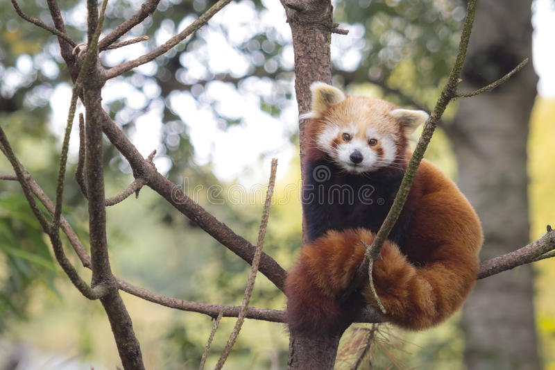 Little red panda, Ailurus fulgens stock photos