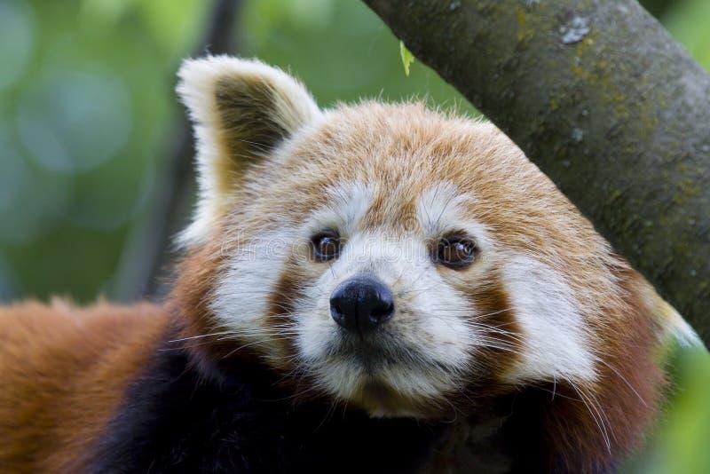 Little red panda bear stock image