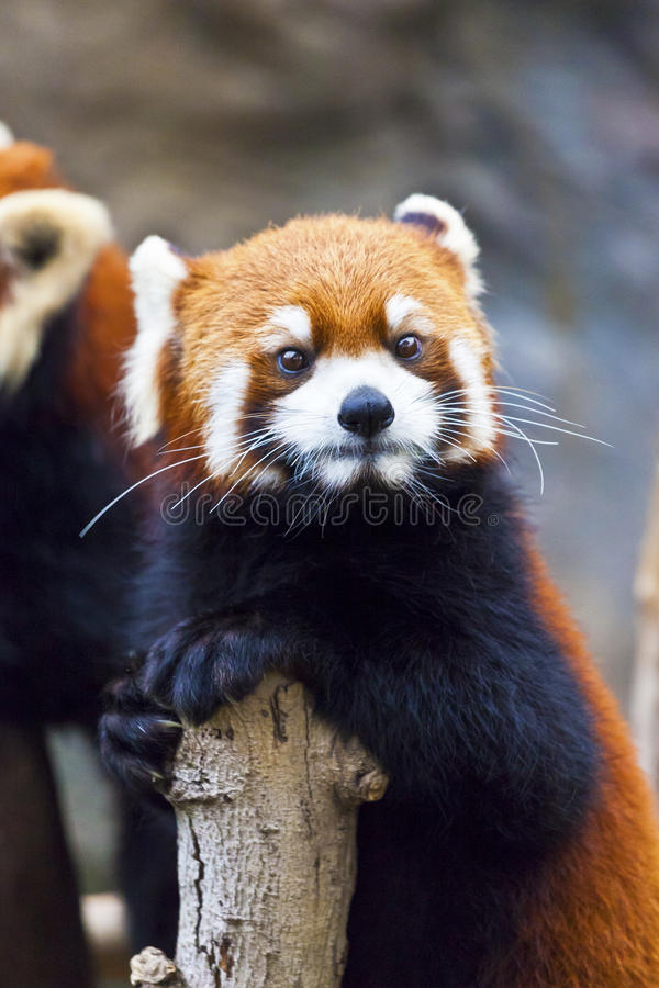 Download Little red panda looking stock photo. Image of kong, lovely - 26653658
