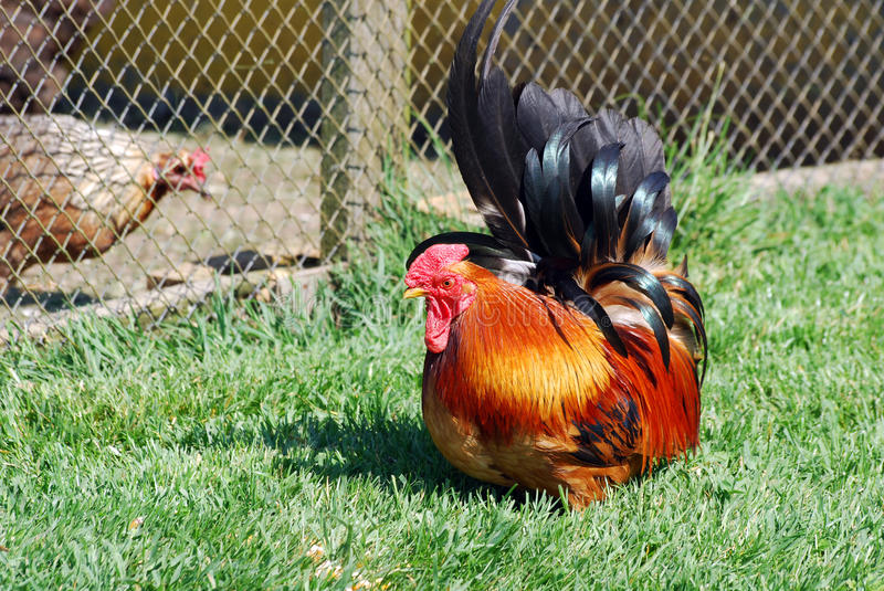 Download Little red rooster stock image. Image of farmyard, rooster - 18385245