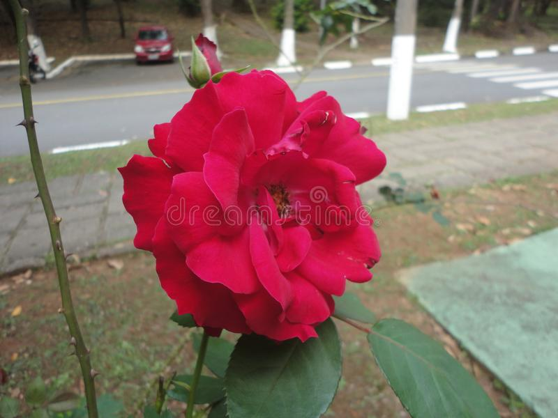 A little red rose stock image