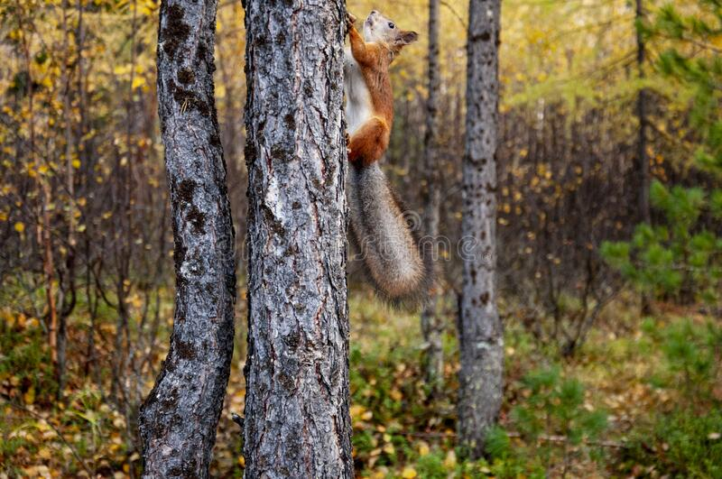 Little red squirrel is eating, running and walking in the forest in green, yellow and brown colors. Trees of birch, larch, spruce,. Fir, pine and cedar. Gold stock photo