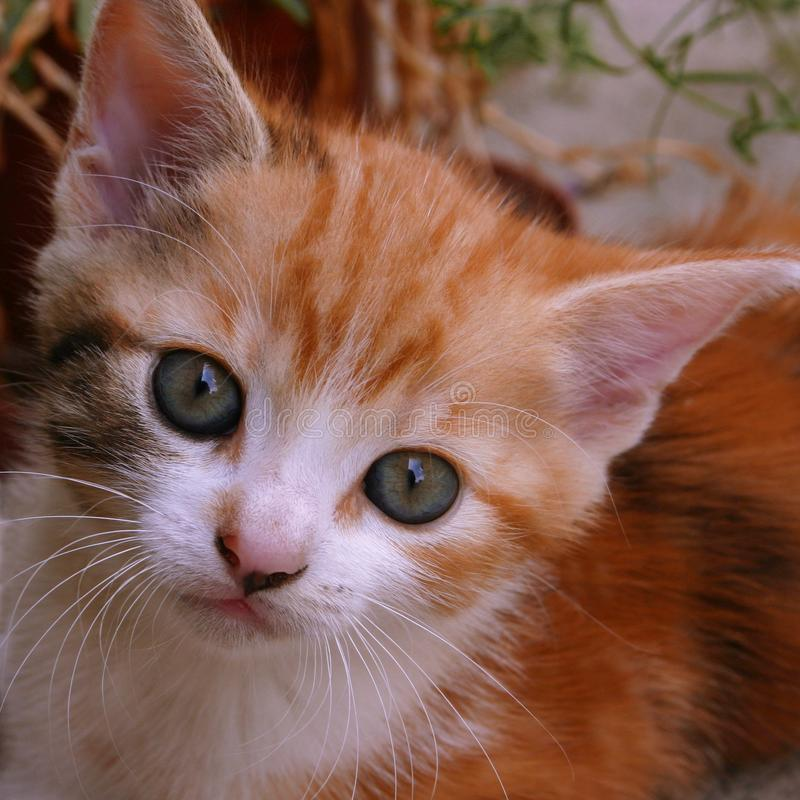 A little red tabby kitten looks into the camera. This orange tabby kitty has a white muzzle nose and blue eyes. stock photos
