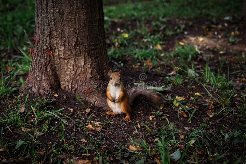 Little Redhead curious squirrel stands under a tree on her hind legs stock image