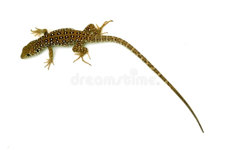 Little reptile with long tail. Little reptile with long tail in summer outdoors at sunlight stock photography