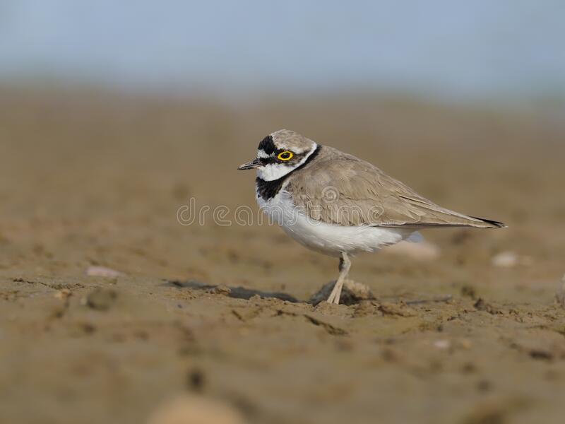 Little-ringed plover, Charadrius dubius royalty free stock image