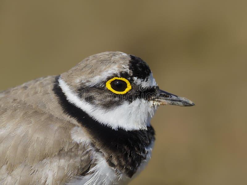 Little-ringed plover, Charadrius dubius stock image