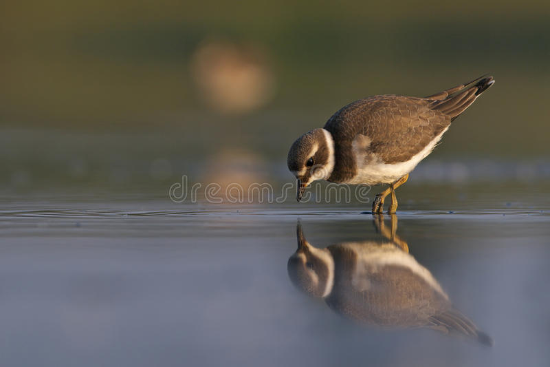Download Little Ringed Plover Charadrius Dubius Stock Photo - Image: 21304198