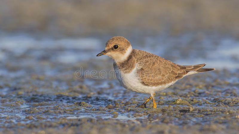 Little Ringed Plover on Muddy Lake Shore stock photo