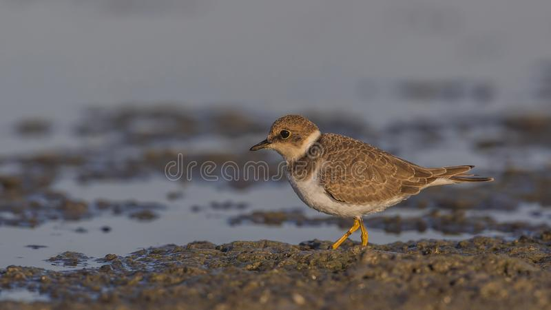 Little Ringed Plover on Muddy Shore royalty free stock photos