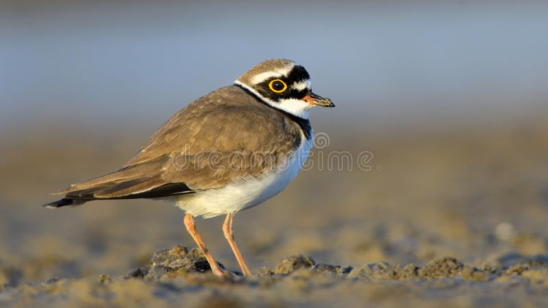 Little ringed plover & x28;Charadrius dubius& x29; royalty free stock images