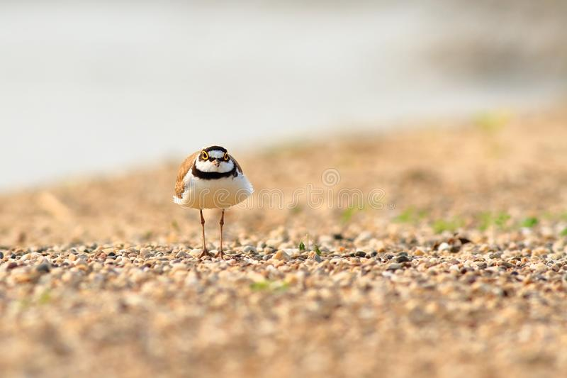 little ringed plover royaltyfri foto