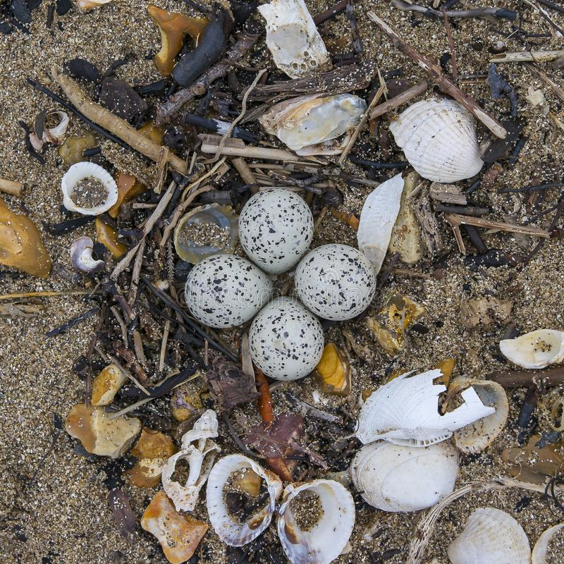 Little Ringed Plover Eggs at Beach royalty free stock image