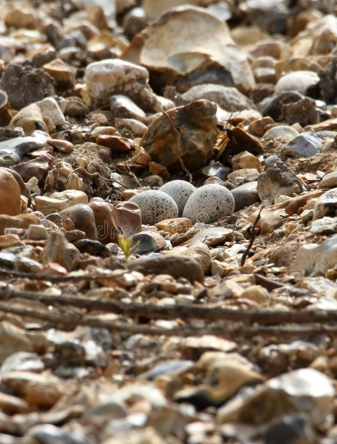 Little Ringed Plover Eggs stock image