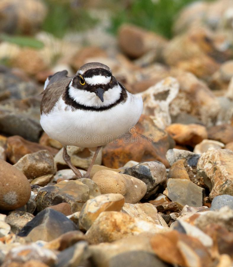 Little Ringed Plover On The March royalty free stock photos