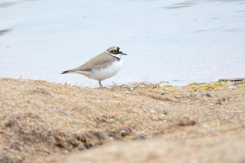 Little Ringed Plover. A Little Ringed Plover stands on the river bank. Scientific name: Charadrius dubius stock photography