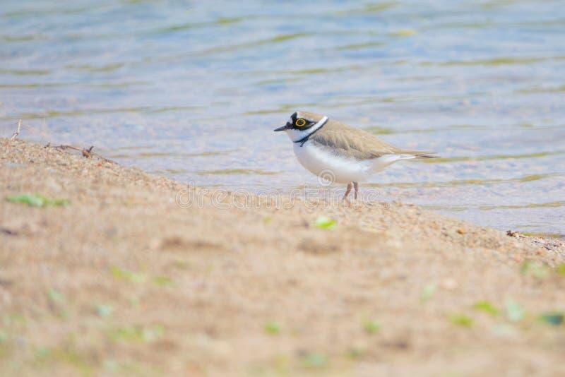 Little Ringed Plover. A Little Ringed Plover stands on the river bank. Scientific name: Charadrius dubius royalty free stock photos