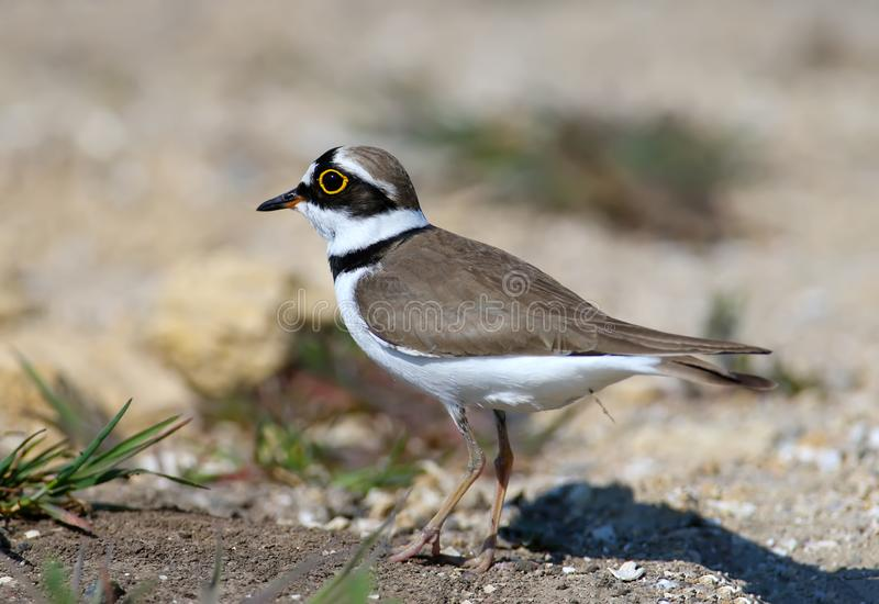 Little ringed plover male in breeding plumage. Standing on sand close up stock image
