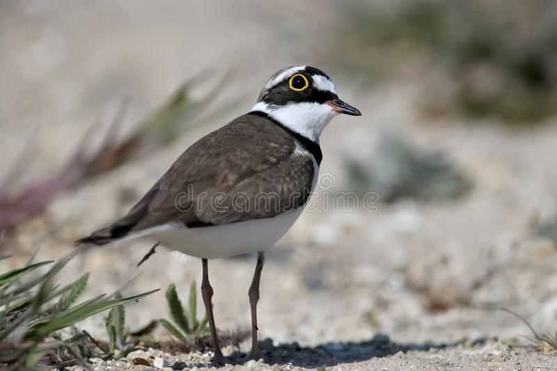 Little ringed plover male in breeding plumage. Standing on sand close up stock photo
