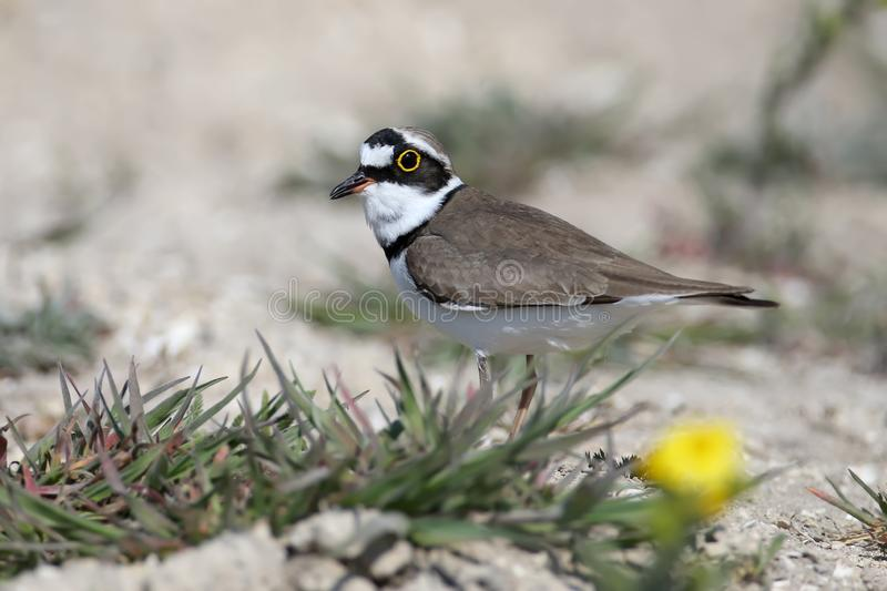 Little ringed plover male in breeding plumage. Standing on sand close up stock images