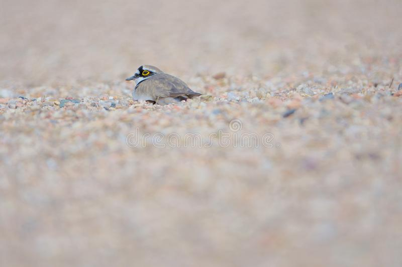 Little Ringed Plover. One Little Ringed Plover hides in sand. Scientific name: Charadrius dubius royalty free stock image