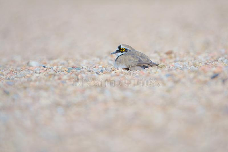 Little Ringed Plover. One Little Ringed Plover lays in sand. Scientific name: Charadrius dubius stock images