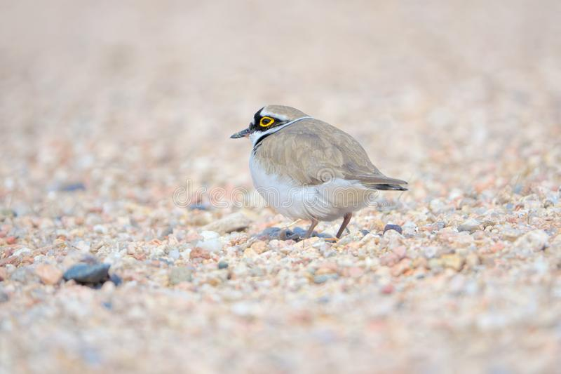 Little Ringed Plover. One Little Ringed Plover rests in sand. Scientific name: Charadrius dubius royalty free stock photos