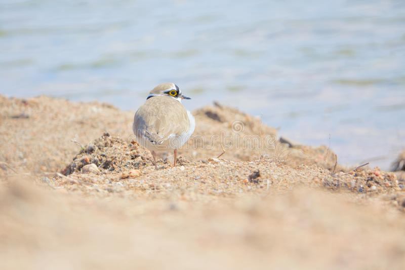 Little Ringed Plover. One Little Ringed Plover stands on bank of river. Scientific name: Charadrius dubius stock photography