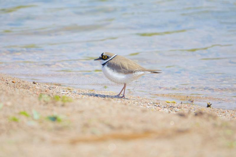 Little Ringed Plover. One Little Ringed Plover stands on bank of river. Scientific name: Charadrius dubius stock images
