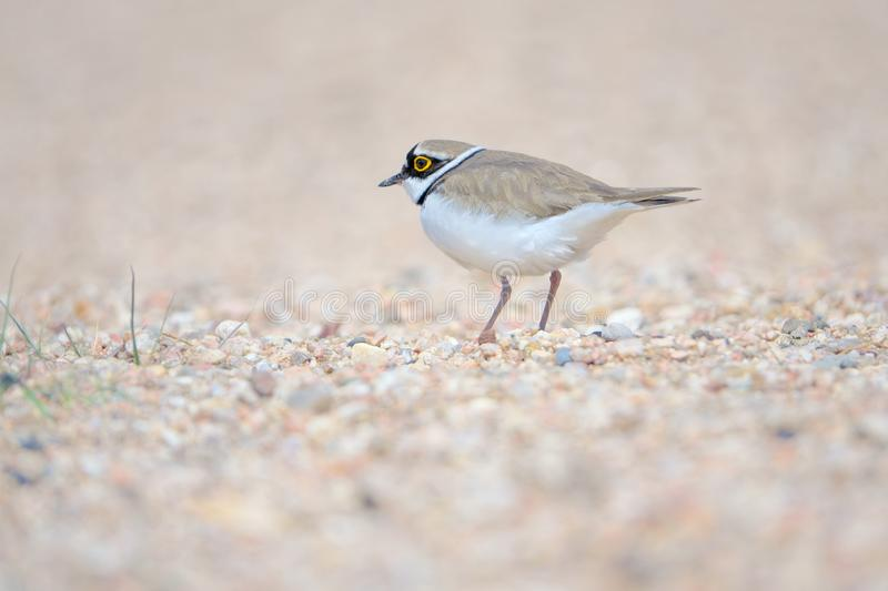 Little Ringed Plover. One Little Ringed Plover stands in sand. Scientific name: Charadrius dubius royalty free stock photos