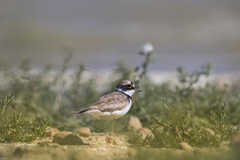 Little ringed plover on a shore royalty free stock photo