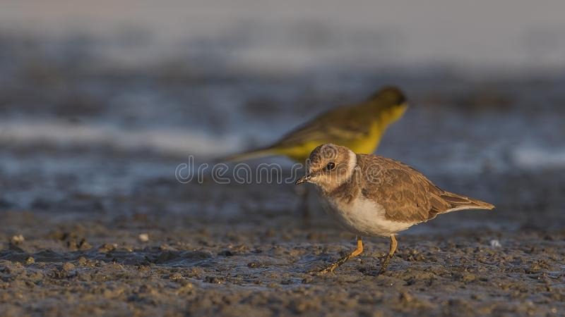 Little Ringed Plover with Silhouette Yellow Wagtail royalty free stock image