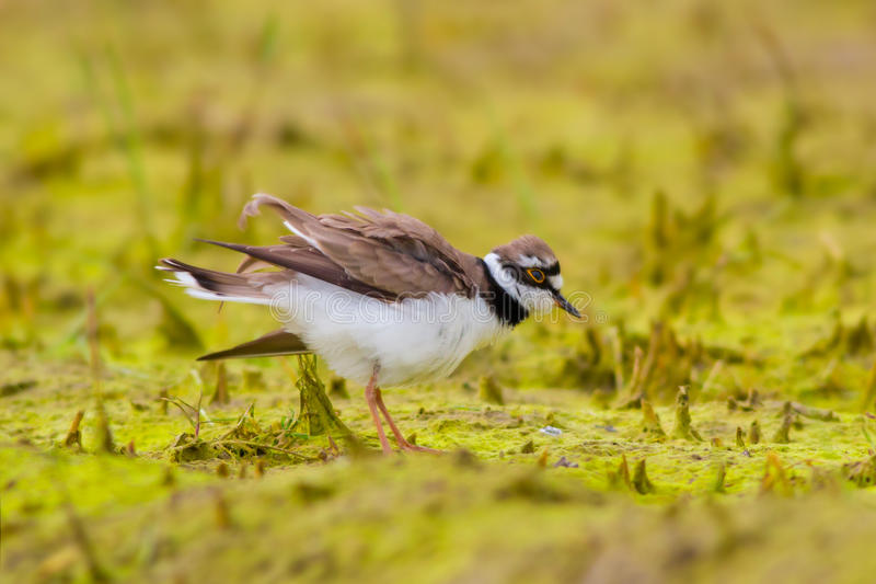 Little ringed plover standing alone stock photos