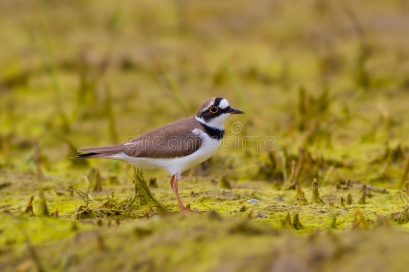 Little ringed plover standing alone staring stock photography