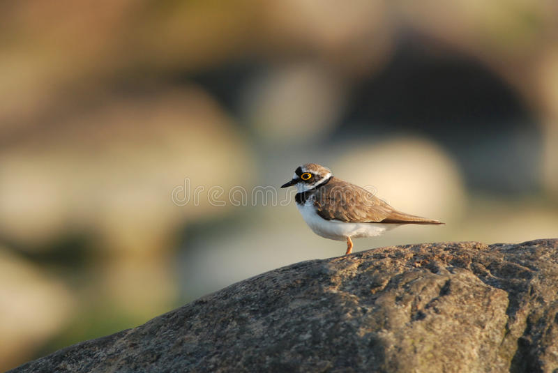 Little ringed plover. Standing on a boulder stock image