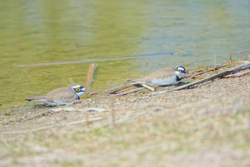 Little Ringed Plover. Two Little Ringed Plover lay on the bank of river. Scientific name: Charadrius dubius royalty free stock photos