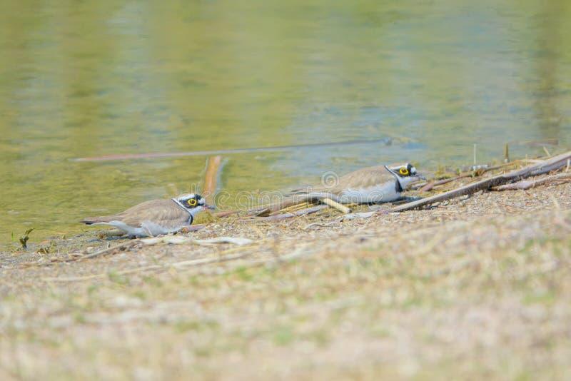 Little Ringed Plover. Two Little Ringed Plover rest on the river bank. Scientific name: Charadrius dubius royalty free stock photos